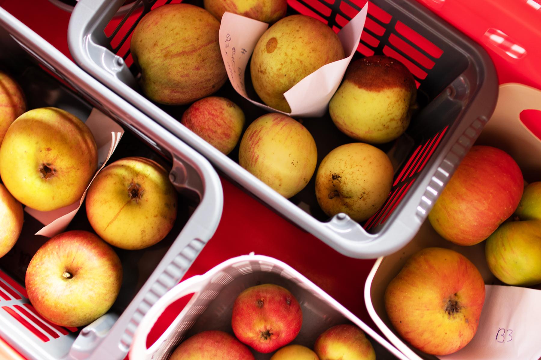 Äpfel warten darauf bestimmt zu werden
